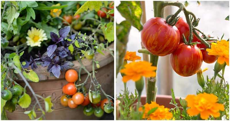 10-Best-Plants-To-Grow-With-Tomatoes-ft