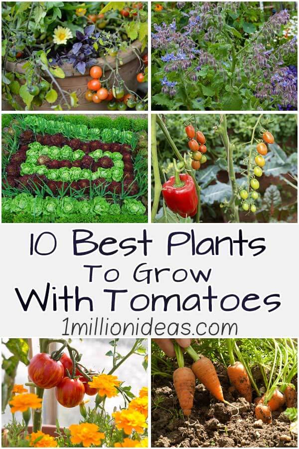 10 Best Plants To Grow With Tomatoes