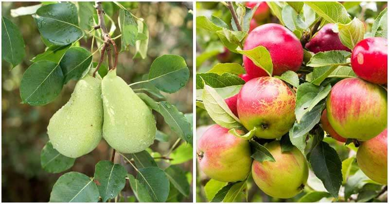 10-Easy-Fruit-Trees-To-Grow-In-Containers-ft