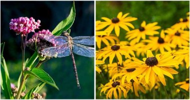 10-Garden-Plants-To-Attract-Dragonflies-For-Mosquito-Control-ft