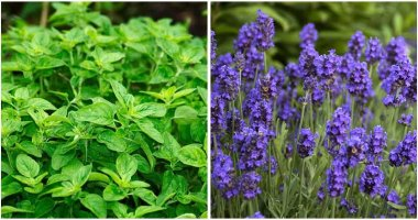 10-Perennial-Herbs-That-You-Can-Harvest-For-Years-ft