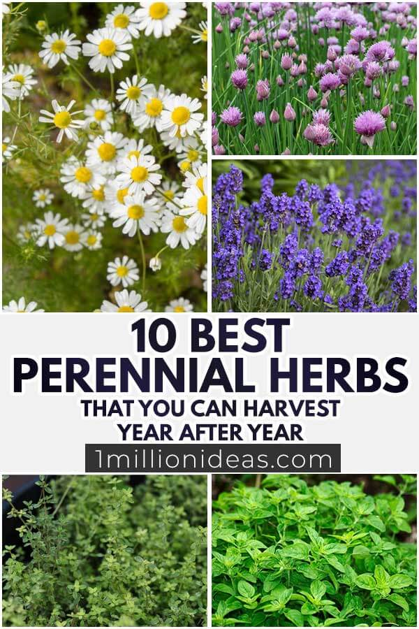 10 Perennial Herbs That You Can Harvest Year After Year