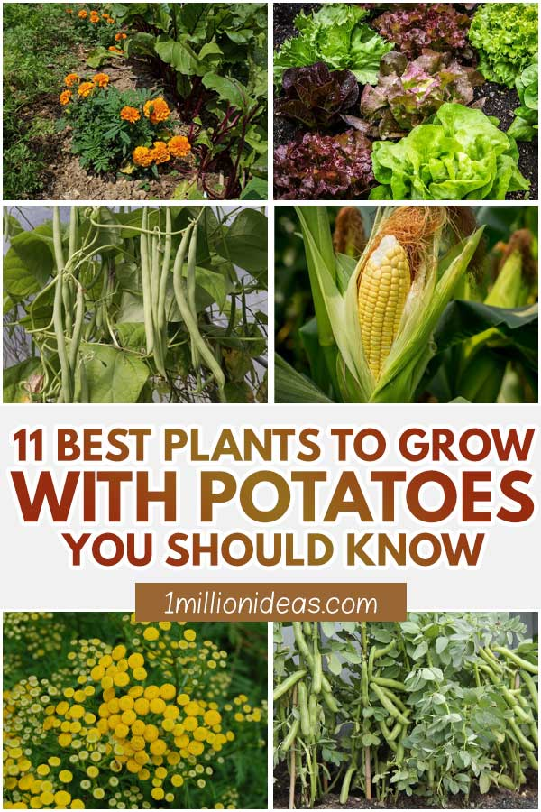 11 Best Plants To Grow With Potatoes You Should Know