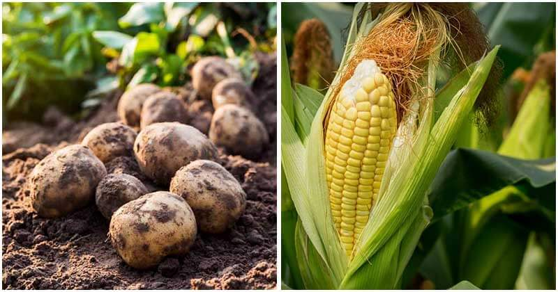 11-Best-Plants-To-Grow-With-Potatoes-You-Should-Know7-ft