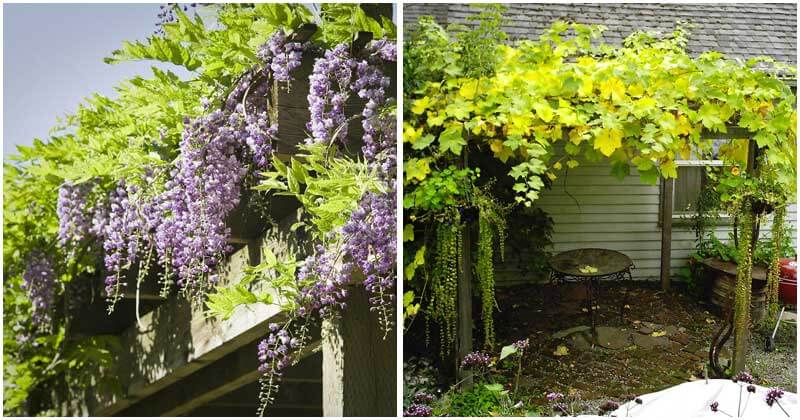12-Beautiful-Climbing-Plants-For-Pergola-ft