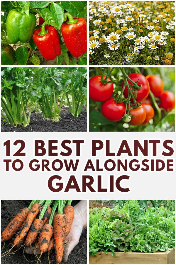 12 Best Plants To Grow Alongside Garlic