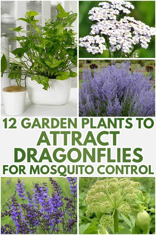 12 Garden Plants To Attract Dragonflies For Mosquito Control