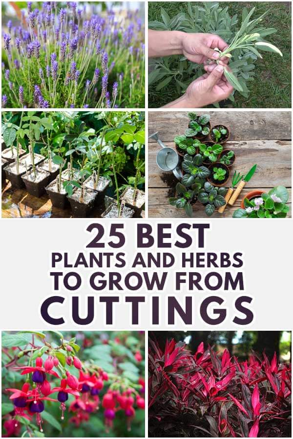 25 Best Plants and Herbs To Grow From Cuttings