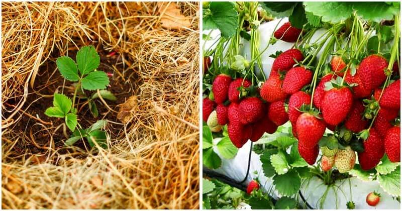 5-Tips-To-Get-Maximum-Yield-Of-Strawberries-ft