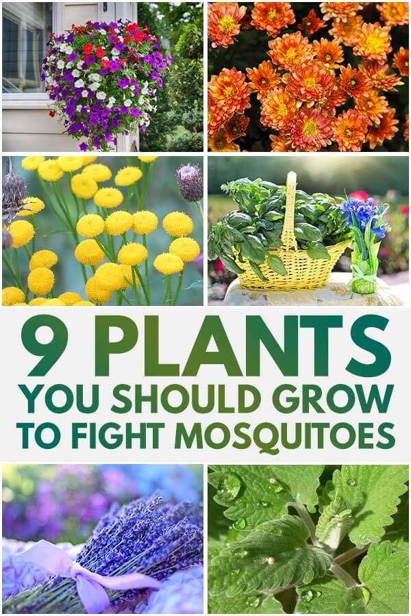 9 Plants You Should Grow To Fight Mosquitoes