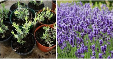 How-To-Regrow-Lavender-From-Cuttings-ft
