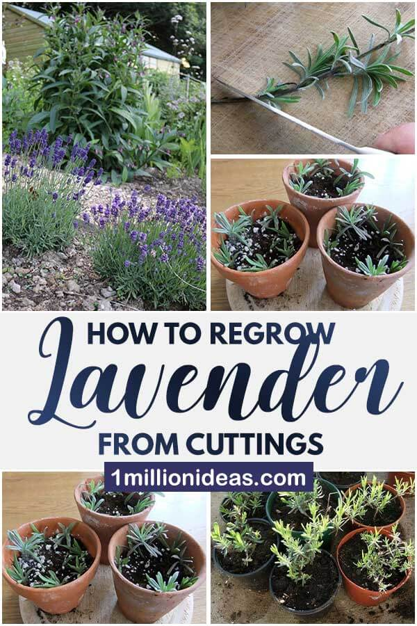 How To Regrow Lavender From Cuttings