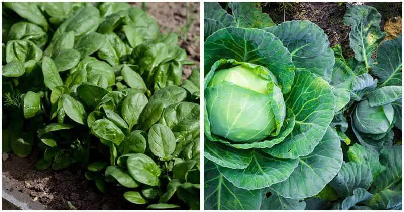 vegetables-grow-in-shade