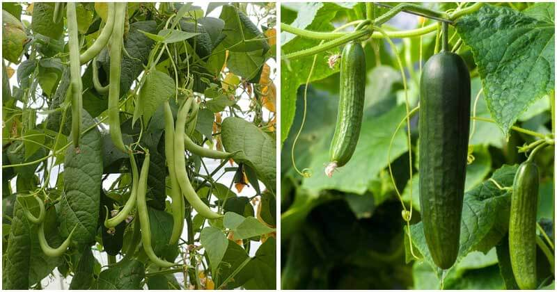 10-Plants-That-Cucumber-Loves-Growing-With-ft
