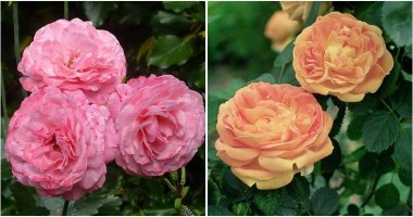 16 Most Beautiful and Fragrant Roses For Garden