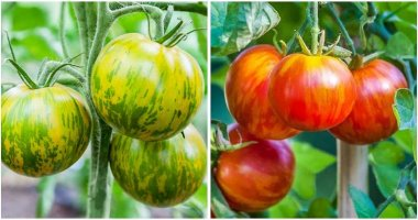 19-Fabulous-Tomato-Varieties-You-Should-Grow-This-Year-ft