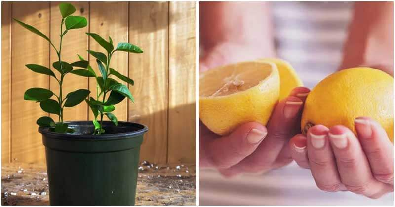 7-Steps-To-Grow-A-Lemon-Tree-From-Seeds-ft