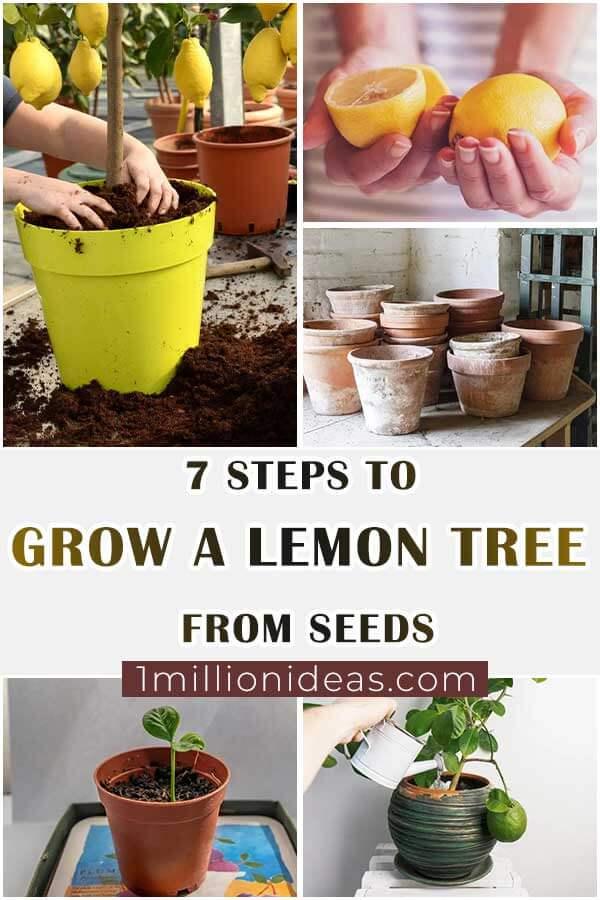 7-Steps-To-Grow-A-Lemon-Tree-From-Seeds