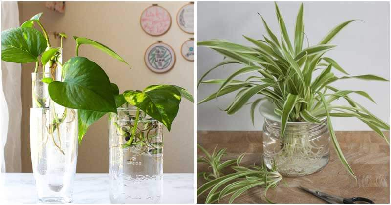 9-Best-Indoor-Plants-To-Grow-In-Water-ft