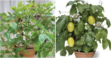 12 Indoor Fruit Trees Give A High Yield