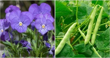 12 Plants Can Intercrop With Tomatoes