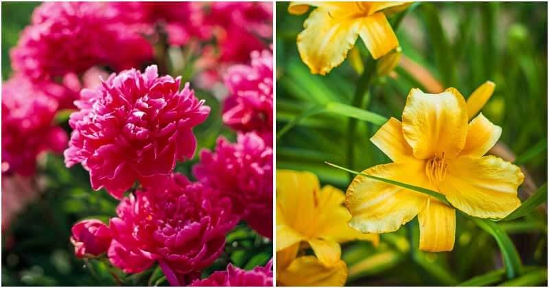 15-Beautiful-Long-Living-Perennial-Plants-ft