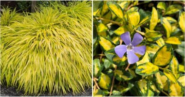 15-Gold-Foliage-Plants-That-Will-Shine-In-Your-Garden-ft
