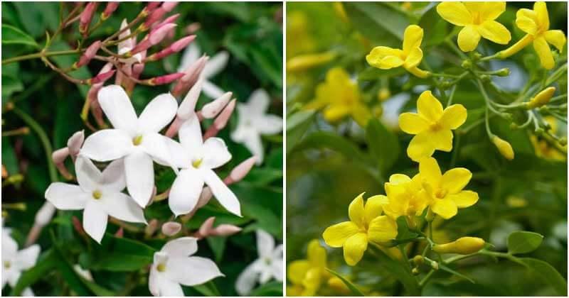 15-Most-Fragrant-Jasmine-Varieties-ft2
