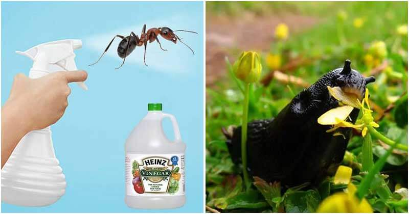 16 Great Uses Of Vinegar In Garden That You Should Know