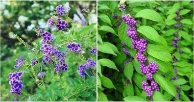 18 Best Beautiful Purple Flowering Shrubs For Your Garden