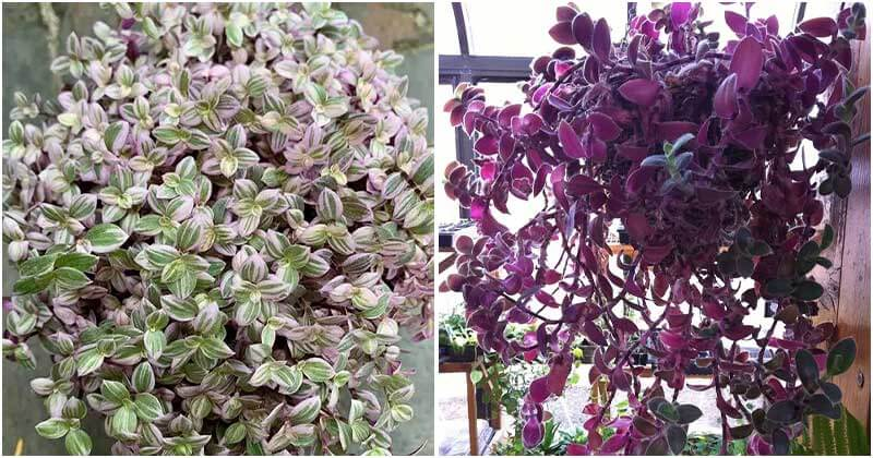 19 Beautiful Trailing Foliage Plants for Hanging Baskets And Window Boxes