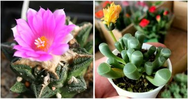 25-Beautiful-Rare-Succulent-Varieties-ft
