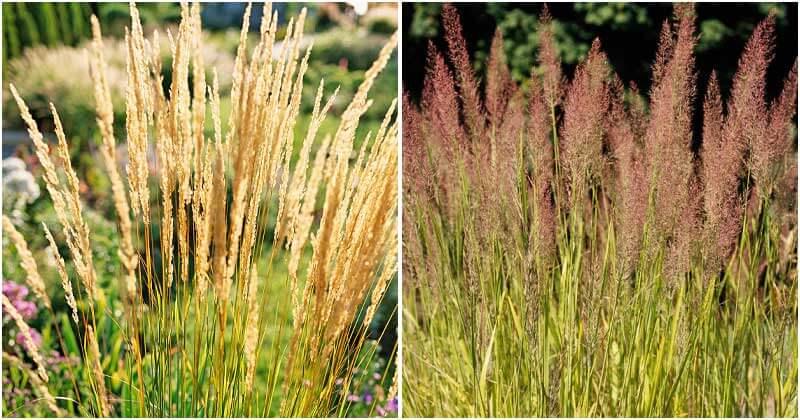 25-Most-Beautiful-Ornamental-Grasses-ft