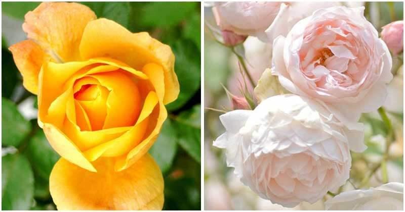 30-Gorgeous-Rose-Varieties-ft