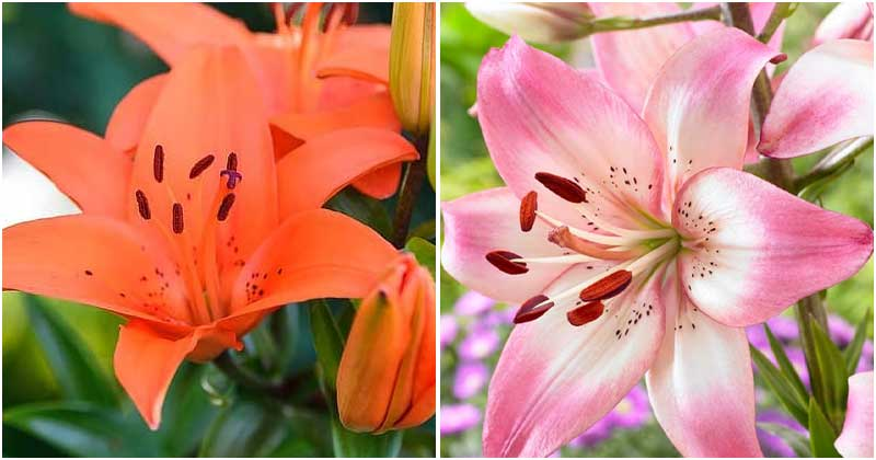 30-Most-Beautiful-Lily-Varieties-For-Your-Garden-ft1