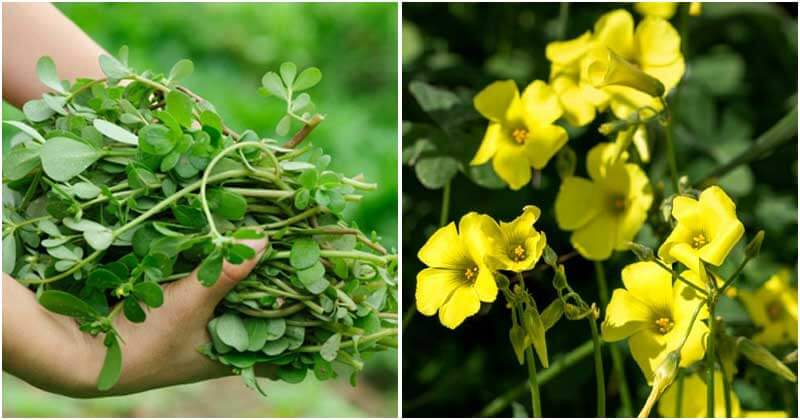 8-Edible-Weeds-To-Grow-In-Your-Backyard-ft