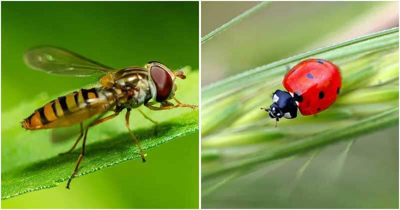 Beneficial Bugs For Your Garden That You Should Know