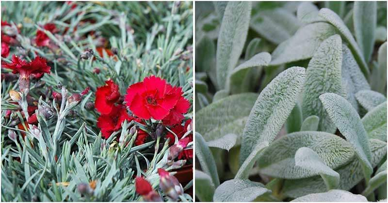 Best-Silver-Plants-To-Grow-In-Your-Yard-ft