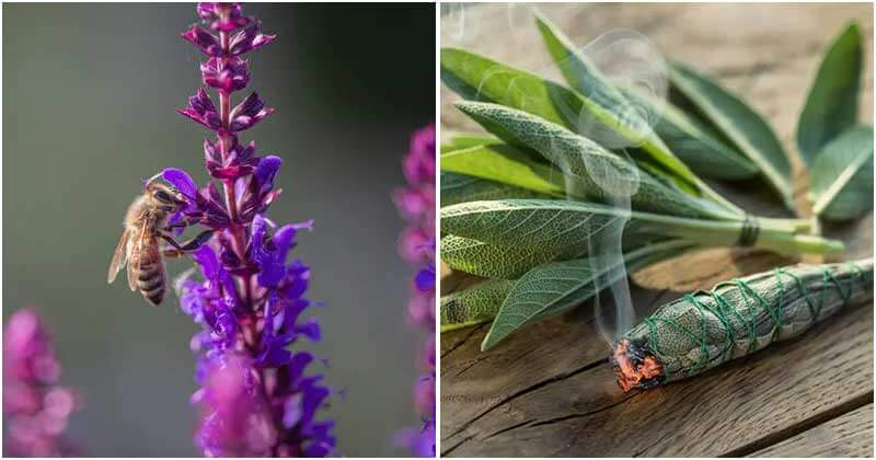 Reasons To Grow Sage In Your Garden