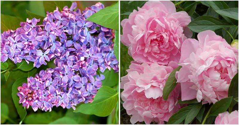 10 Beautiful Perennial Plants Have Fragrant Flowers