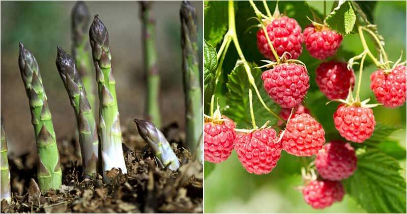 10-Perennial-Vegetables-And-Fruits-To-Grow-In-Fall-ft