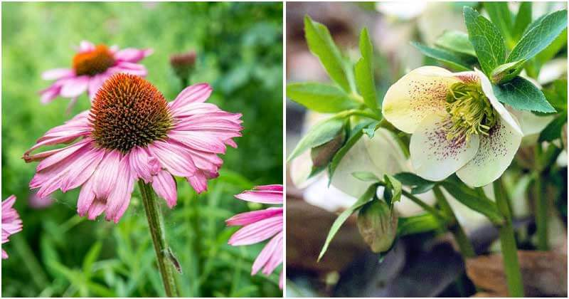 12-Best-Midwest-Perennial-Flowers-For-Your-Garden-ft