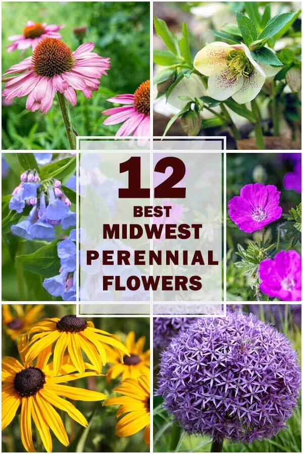 12-Best-Midwest-Perennial-Flowers-For-Your-Garden-ft3