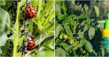 12-Chemical-Free-Tools-To-Get-Rid-Of-Aphids-ft