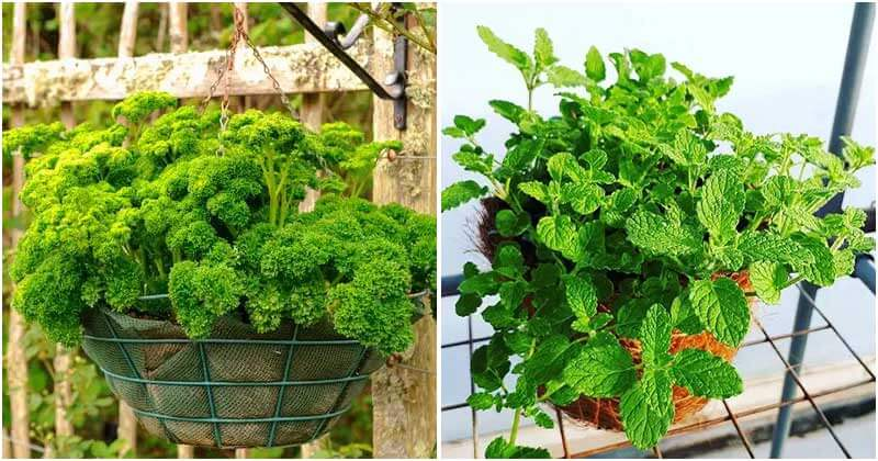 12 Herbs Can Grow In Hanging Baskets