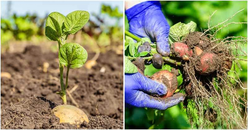 14 Potato Growing Tips To Have A Bountiful Harvest