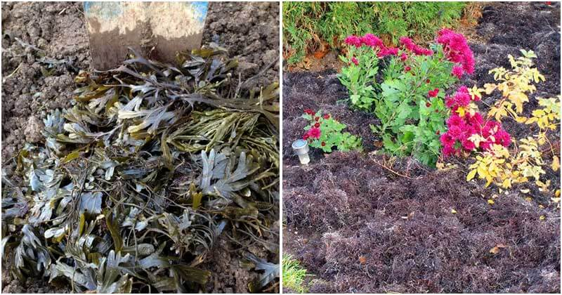 15-Amazing-Uses-Of-Seaweed-For-Garden-ft