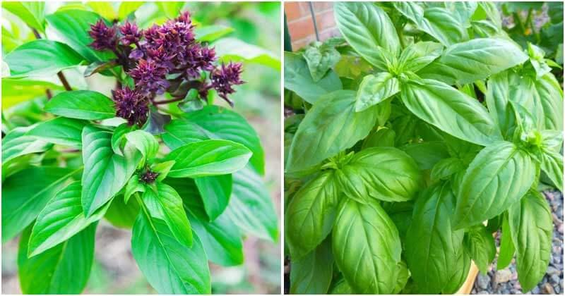 15-Best-Basil-Varieties-To-Bring-To-Your-Garden-ft
