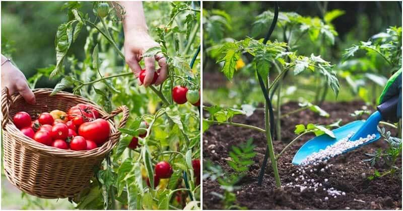 15 Common Mistakes When Growing Tomato