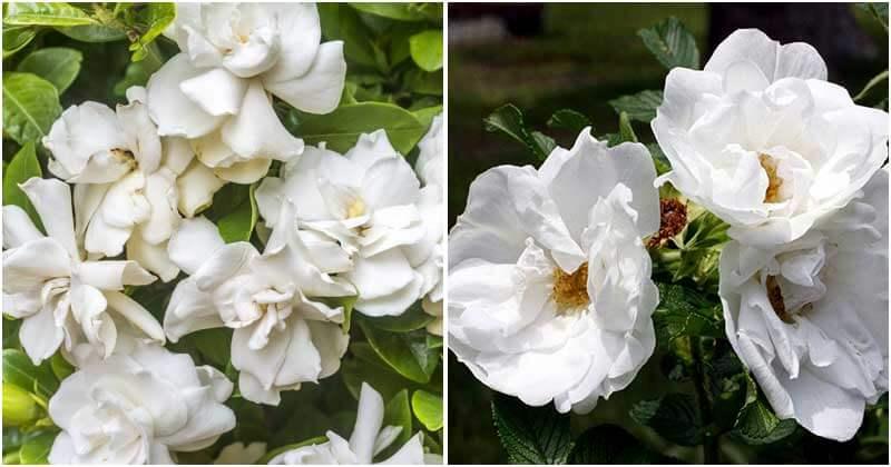 15-Elegant-White-Flower-Shrubs-For-Gardens-ft